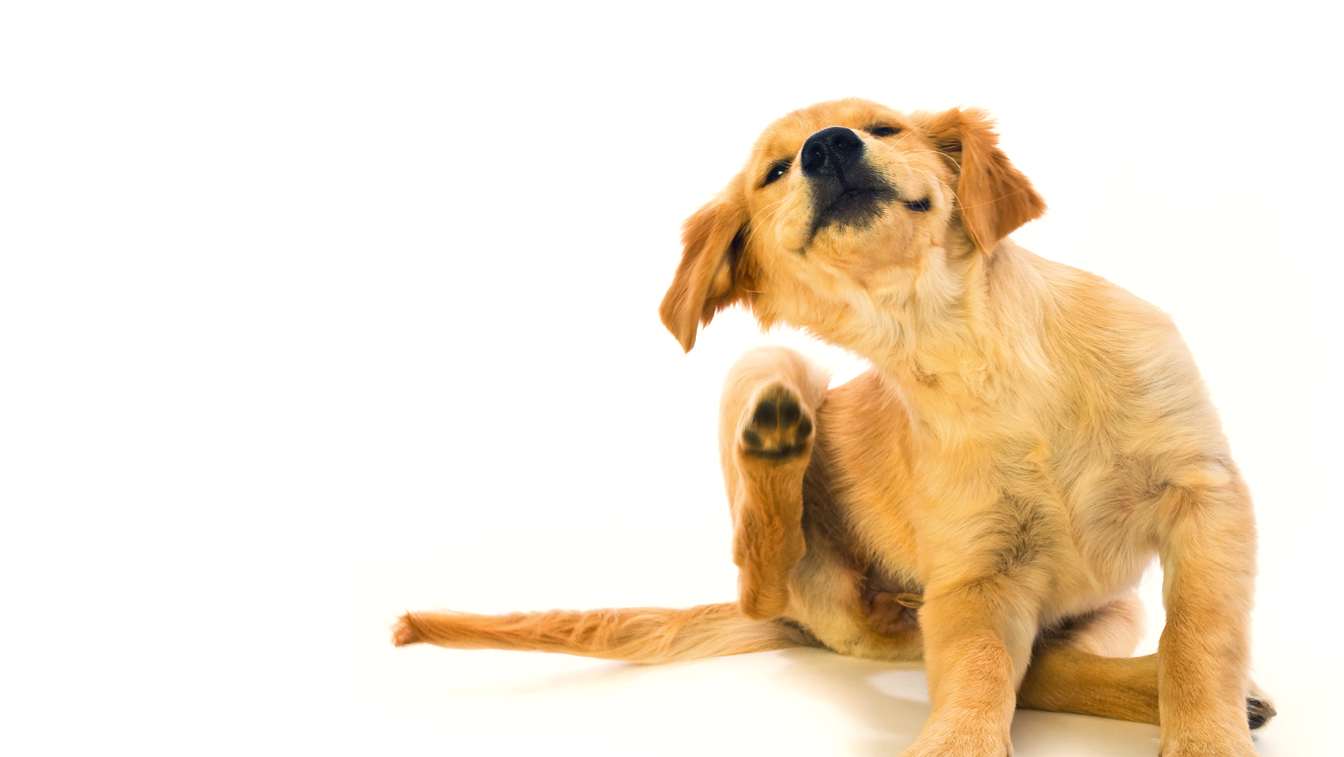 A Natural Way To Get Rid Of Fleas On Dog